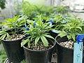 Seedling cannabis plant.jpg