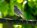 Seehof Phoenicurus ochruros female 5264746.jpg