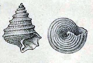 Seguenziidae family of molluscs