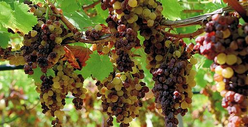 September 30 The grape sun-wilting on the plant