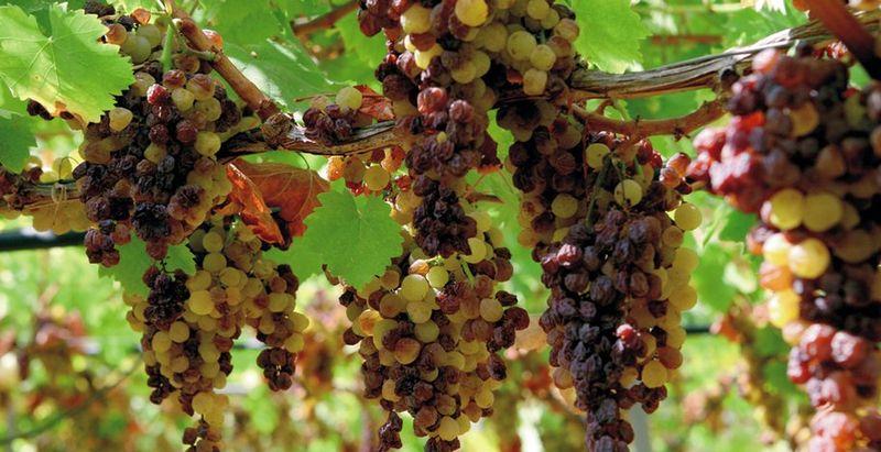 File:September 30 The grape sun-wilting on the plant.jpg