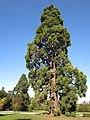 Sequoia géant (Rentilly).jpg