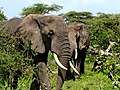 Serengeti 1 (2) (14148628405).jpg