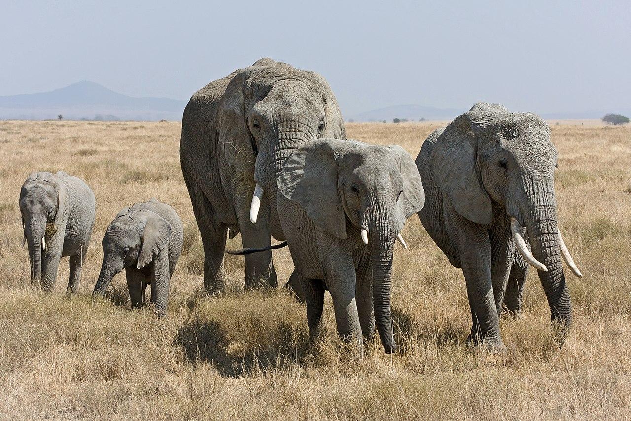 Afrikanische Steppenelefanten in der Serengeti