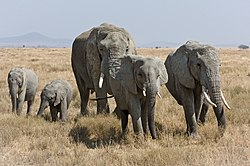 Serengeti Elefantenherde1. jpg