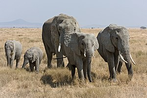A herd of African Bush Elephants in Serengeti ...