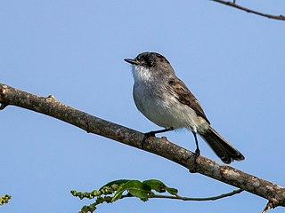 River tyrannulet Species of bird