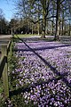 Shadows on the crocuses - geograph.org.uk - 1186863.jpg