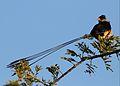 Shaft-tailed whydah, Vidua regia, at Pilanesberg National Park, Northwest Province, South Africa (28623364816).jpg