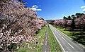 Shizunai Cherry blossom 01.jpg