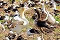 Short-tailed Albatross Pair-bonding Dance.jpg