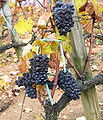 Shrivelled Pinot Noir in Santenay 1.jpg