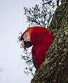 Shy Macaw.jpg