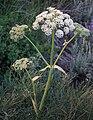 Sierra angelica Angelica lineariloba top.jpg