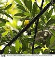 Sikatan Emas (Ficedula zanthopygia).jpg