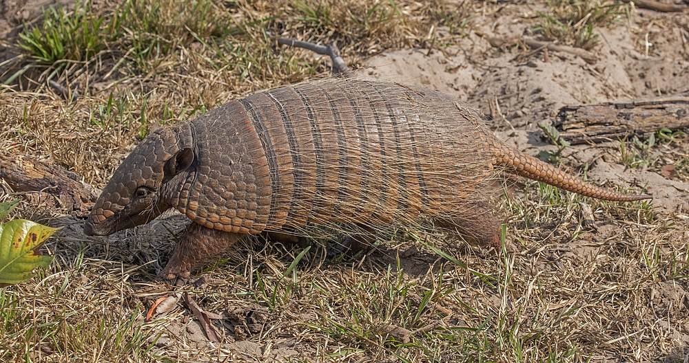 The average litter size of a Six-banded armadillo is 1