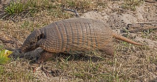 Six-banded armadillo A species of mammals belonging to the armadillo order of xenarthrans