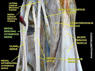 Medial cutaneous nerve of arm - Image: Slide 3zzz