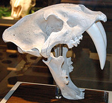 Smilodon californicus saber-toothed tiger (Upper Pleistocene; California, USA) (15256629269).jpg