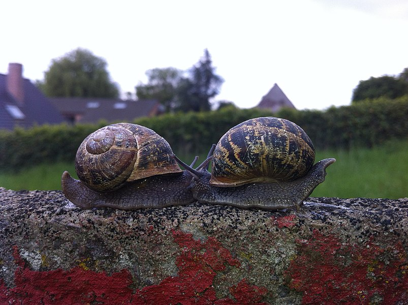 Two snails who seem to be hugging eachother.