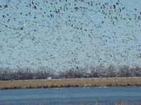 File:Snow geese migration.webm