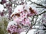 Verschneite Kirschblüten