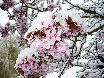 Snow on Cherry Blossom - geograph.org.uk - 753368.jpg