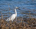 Snowy Egret (17073876709).jpg