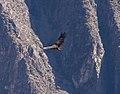 Soaring Condor, Colcha Canyon, Peru - panoramio.jpg