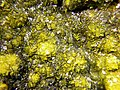 Soddyite-Curite-Heterogenite-201076.jpg