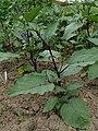 Solanum aethiopicum 'Japanese Black Stem' kz01.jpg