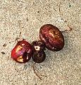 Solanum tuberosum - cabrita.JPG