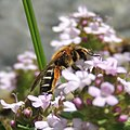Solitary bee on oregano, Sandy, Bedfordshire (17547138269).jpg