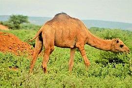 Somali camel.jpg