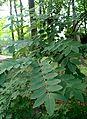 Sophora japonica kz1.jpg