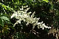 Sorbaria sorbifolia kz02.jpg