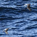 Southern Fulmar and Black-browed Albatross flying over the South Atlantic (5543705067).jpg
