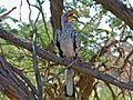 Southern Yellow-billed Hornbill (Tockus leucomelas) (7029956529).jpg