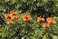 Spathodea campanulata flowers DSC1648.jpg