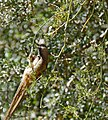 Speckled Mousebird (Colius striatus) (31740602143).jpg
