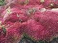 Sphagnum meridense var. rosea.jpg
