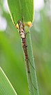 Spider Tetragnatha praedonia 1006.jpg