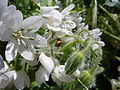 Spider on white flowers.jpg