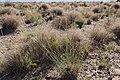 Sporobolus contractus - Flickr - aspidoscelis (11).jpg