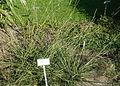 Sporobolus indicus - Bergianska trädgården - Stockholm, Sweden - DSC00559.JPG