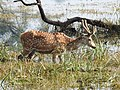 Spotted Deer Axis axis by Dr. Raju Kasambe DSCN2082 (6).jpg