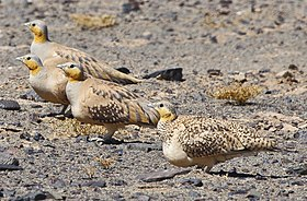 Spotted Sandgrouse (4803937997) (cropped).jpg