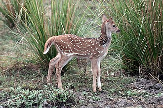 Chital - Image: Spotted deer (Axis axis) newborn