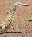 Squacco Heron, Ardeola ralloides at Marievale Nature Reserve, Gauteng, South Africa (15456684047).jpg