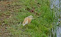 Squacco Heron (Ardeola ralloides) (26391090990).jpg